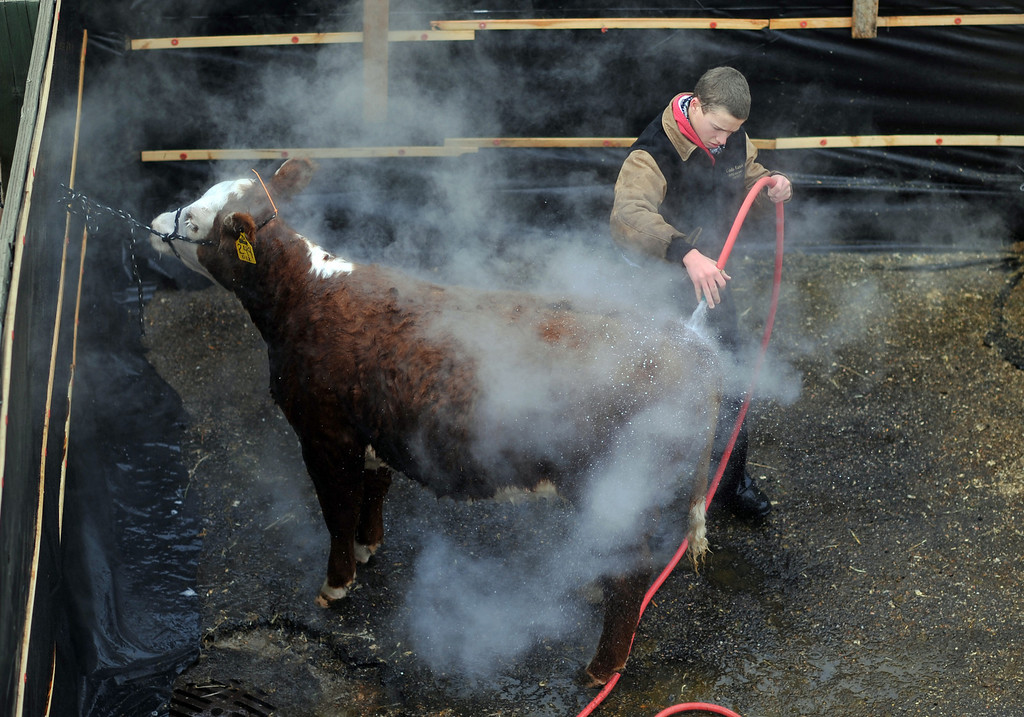 . Code Kanode, 16, is washing the bull from Ernst Herefords, Windsor, CO., at the stock yard of 2013 National Wester Stock Show on Tuesday. CO, January 15, 2013.  Hyoung Chang, The Denver Post