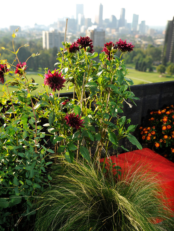 . Dahlias and an ornamental grass frame a red bench in the rooftop garden. (Cyrus McCrimmon, The Denver Post)