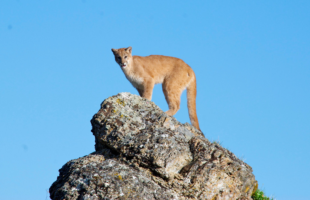 . Mountain lion standing on rock in Kalispell, Montana, USA. (photo credit: © NGT )