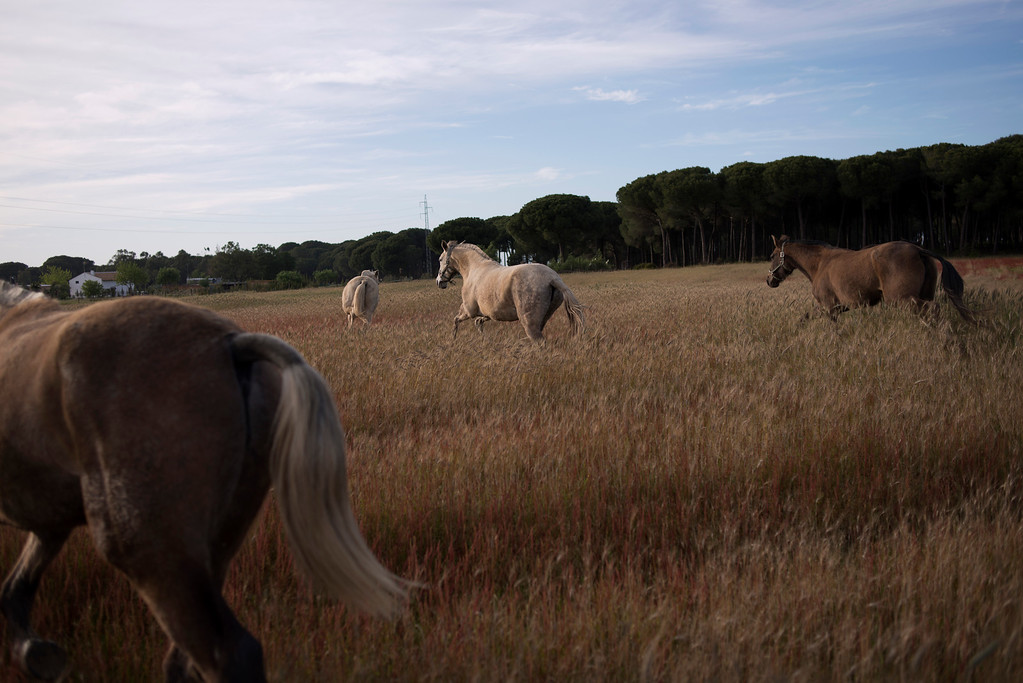 """. In this photo taken on Tuesday, April. 2, 2013, \'\'Pura Raza Espanola\'\' or Pure Spanish Breed mares belonging to breeder Francisco Jose Rodriguez are seen at \""""La Yeguada de Cuatro Vientos\"""" ranch in Almonte, in the southern Spanish region of Andalusia. Barring an unlikely reprieve, Mesa\' purebreds will be turned into horse meat for export come July. They are victims of a wrenching economic downturn that has wiped out fortunes, turned housing developments into ghost towns and left more than a quarter of the population out of work. (AP Photo/Laura Leon)"""