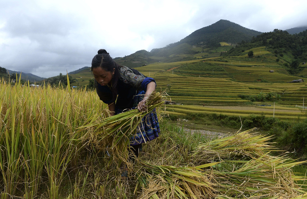 . This picture taken on October 2, 2013 shows a Hmong ethnic hill tribe woman harvesting rice on a terrace rice field in Mu Cang Chai district, in the northern mountainous province of Yen Bai. The local residents, mostly from the Hmong hill tribe, grow rice in the picturesque terrace fields whose age is estimated to hundreds years. Due to hard farming conditions, especially irrigation works, locals produce only one rice crop per year. In recent years a growing numbers of tourists have been attracted by the beautiful landscapes created by the region\'s rice terrace fields.  HOANG DINH NAM/AFP/Getty Images