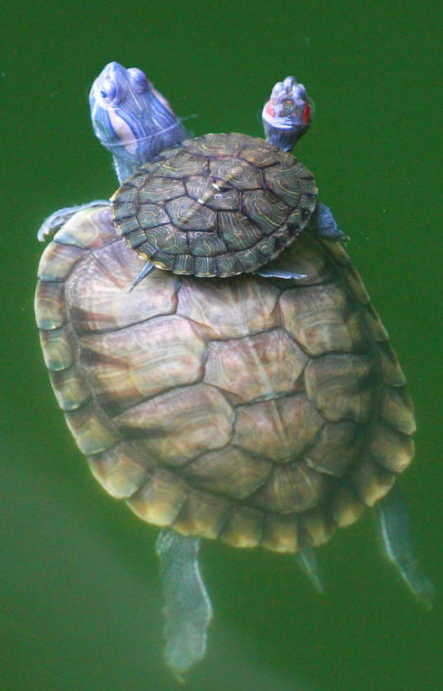 . A turtle swims with its baby on its back in a pool in Hanshan Temple on the outskirts of Suzhou, east China\'s Jiangsu Province. Hundreds of turtles in over 10 varieties at the temple attract visitors in summer, Xinhua said. (AP Photo/Xinhua, Wang Jianzhong)