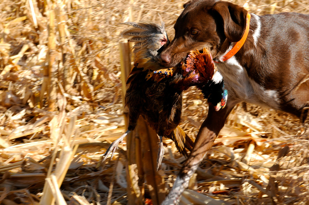 . Bailey earns her chops as a bird dog with a fine retrieve of a ringneck rooster on the 2103 opening weekend of pheasant season near Holyoke. Scott Willoughby, The Denver Post