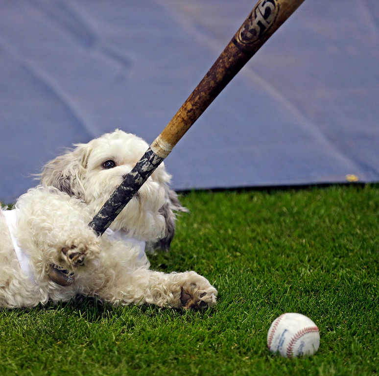 . Hank, the unofficial mascot of the Milwaukee Brewers, plays with a player\'s bat on the field before the opening day baseball game between the Milwaukee Brewers and Atlanta Braves at Miller Park, Monday, March 31, 2014, in Milwaukee. (AP Photo/Jeffrey Phelps)