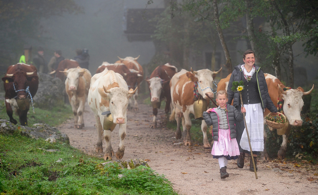 . SCHOENAU AM KOENIGSSEE, GERMANY - OCTOBER 05:  Bavarian herdswomen Christine Bauer (R) and Paula Amort lead their cattle on a path to a boat  that carries them across Koenigssee Lake during the traditional cattle drive (in German: Almabtrieb, or Viehscheid) on October 5, 2013 near Schoenau am Koenigssee, Germany. Every fall herders across the European alpine regions return cattle that spent the summer on alpine meadows to farmers in the valley villages. Many villages celebrate the return with folk dancing and other customs and adorn the lead animal with a garland if all of the animals survived the summer.  (Photo by Lennart Preiss/Getty Images)