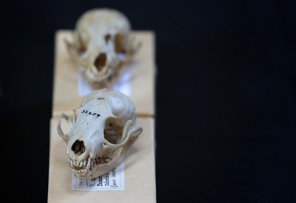 . Skulls of olinguito, a new species of Carnivore which has been newly discovered, are on display during a news conference August 15, 2013 at the Smithsonian Castle in Washington, DC.   (Photo by Alex Wong/Getty Images)