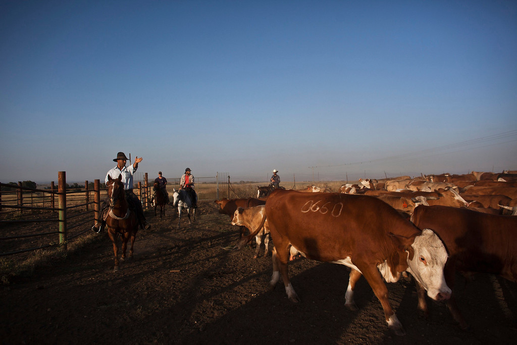 . Nadav (L), the chief cowboy of the Yonatan herd, tends cattle on a ranch just outside Moshav Yonatan, a collective farming community, about 2 km (1 mile) south of the ceasefire line between Israel and Syria in the Golan Heights May 21, 2013.  REUTERS/Nir Elias