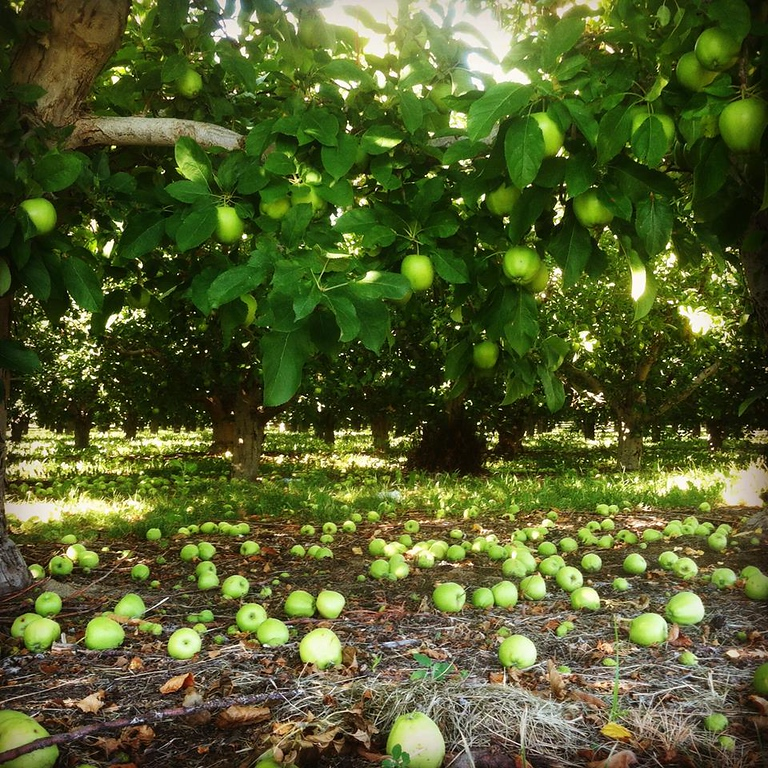 . Thinning apples at Snowdrift Cider\'s orchards in East Wenatchee, Washington. (Photo provided by Snowdrift Cider)