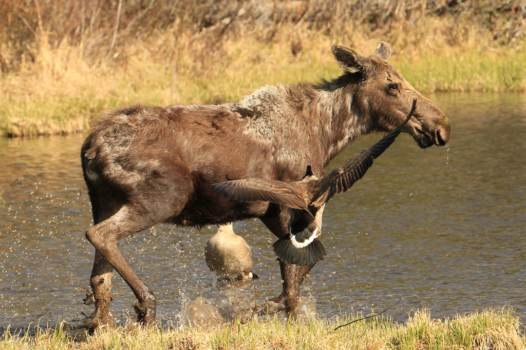 . A curious moose gives ground to the defensive efforts of Canada Geese protecting their nest near Sprague Lake, spring 2014.  (Robert Burns / Special to the Trail-Gazette)
