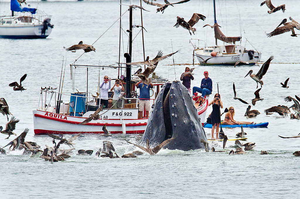 . A humpback whales lunges out of the water to feed near a gathering of spectators just off a beach at San Luis Obispo, Calif., Saturday, Aug. 18, 2012.  The whale fed on a school of bait fish for more than an hour, often breaching close to nearby boats, kayakers and stand up paddle boarders. (AP Photo/Bill Bouton)