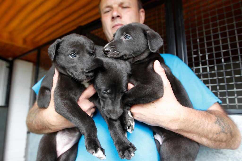 . Greyhound breeder Kevin Gant holds part of a litter of four week old puppies in Norfolk June 5, 2011.  A greyhound typically begins its racing career around the age of eighteen months and is finished by its fourth year unless it suffers a career-ending injury earlier. The dogs naturally live to be about 13. Picture taken June 5, 2011. REUTERS/Chris Helgren