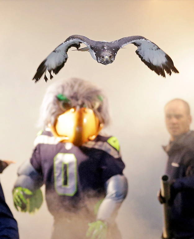 ". ""Taima,\"" an auger hawk, flies out of a tunnel and onto the field ahead of the Seattle Seahawks\' mascot \""Blitz,\"" before player introductions for an NFL football game against the Arizona Cardinals, Sunday, Dec. 22, 2013, in Seattle. (AP Photo/Elaine Thompson)"