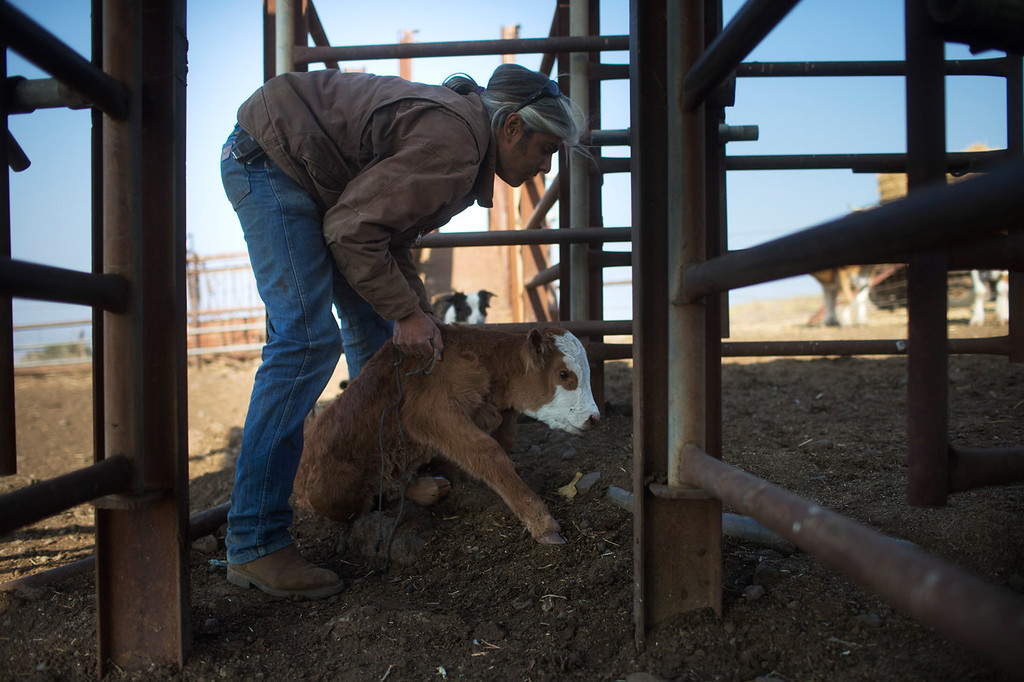 . Israeli cowboy Erez Ashtamker moves aside a calf at the Merom Golan ranch on November 14, 2013 in the Israeli-annexed Golan Heights. Israeli cowboys have been growing beef cattle in ranches on the Golan Heights disputed strategic volcanic plateau for over 30 years, Land which is also used by the Israeli army as live-fire training zones. The disputed plateau was captured by Israel from the Syrians in the 1967 Six Day War and in 1981 the Jewish state annexed the territory.   (Photo by Uriel Sinai/Getty Images)