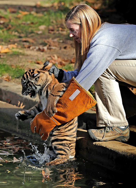 ". A female Sumatran Tiger cub named Sukacita is placed into a moat by biologist Leigh Pitsko (R) before the cub performed her ""swim test\"" at the Great Cats exhibit of the National Zoo November 6, 2013 in Washington, DC. (Photo by Win McNamee/Getty Images)"