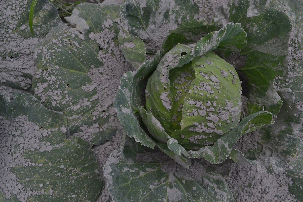 . This photo taken on November 25, 2013 shows a cabbage covered with ash following the Sinabung volcano eruption in Karo. Several thousand people left their homes overnight, taking the total number of those who have fled since the volcano rumbled to life to around 12,300, said the national disaster agency.   AFP PHOTO / SUTANTA  ADITYA/AFP/Getty Images