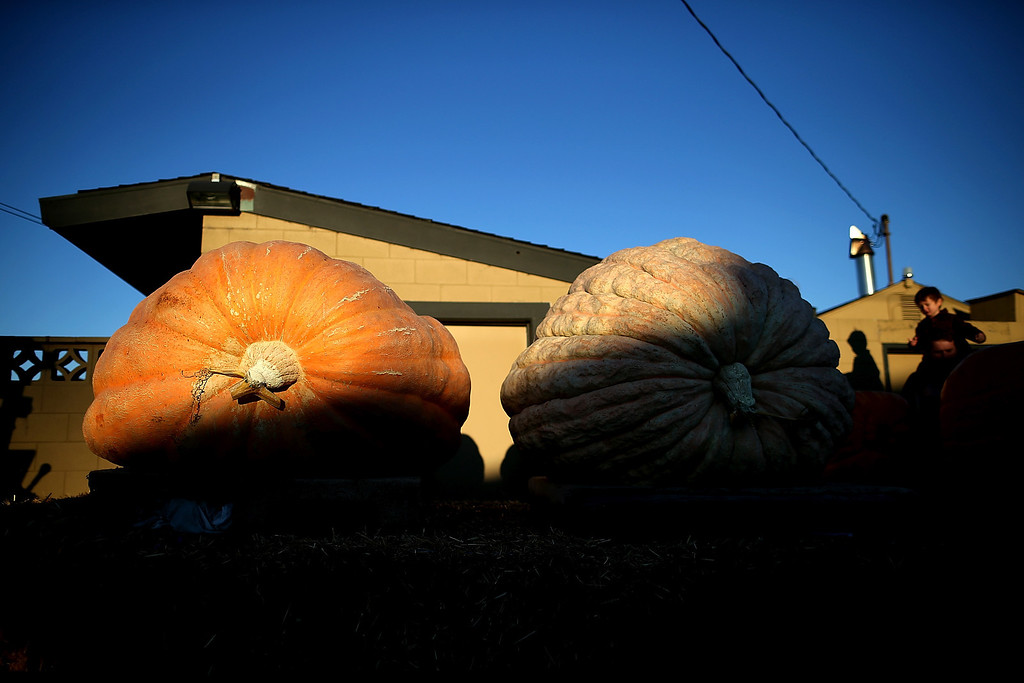 . Giant pumpkins sit before being weighed during the 40th Annual Safeway World Championship Pumpkin Weigh-Off on October 14, 2013 in Half Moon Bay, California.   (Photo by Justin Sullivan/Getty Images)