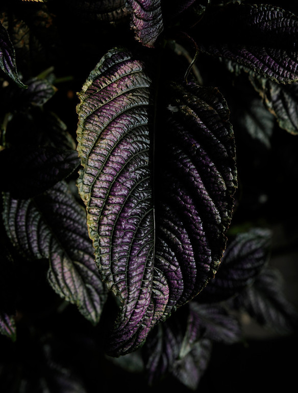 ". The dark, nearly-black leaves of a coleus add drama to Trimpa\'s garden. Despite his rural memories, he never thought he\'d have a garden because he didn\'t want a yard. ""I\'m allergic to grass and swore I\'d never mow again.\"" (Cyrus McCrimmon, The Denver Post)"