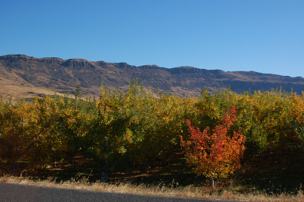 . Snowdrift Cider\'s orchards in East Wenatchee, Washington. (Photo provided by Snowdrift Cider)