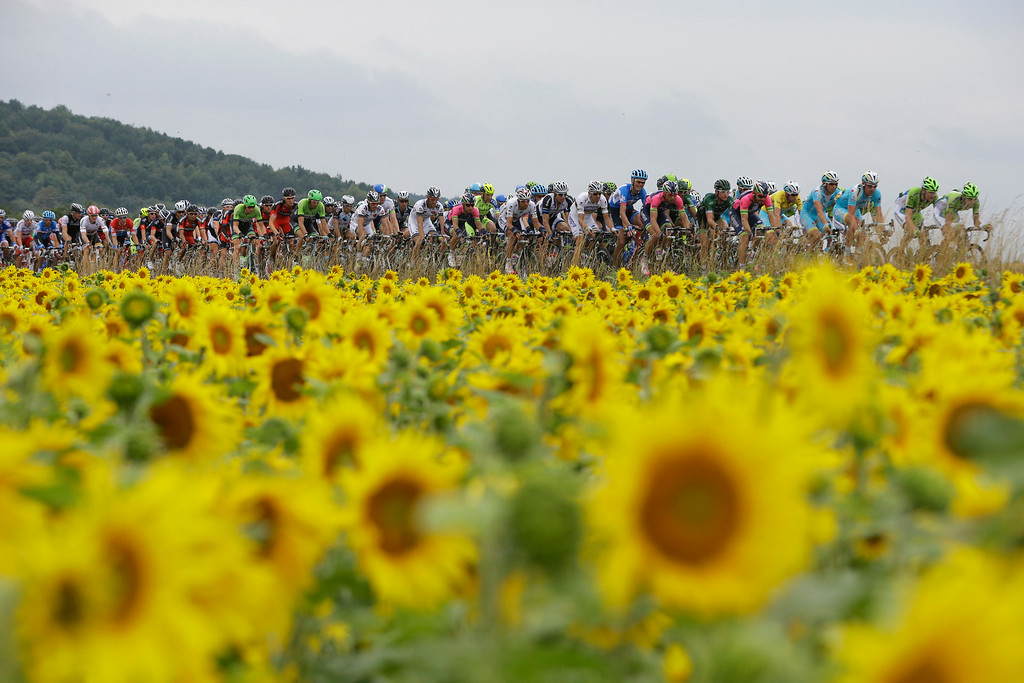 . The pack passes a field with sunflowers during the seventh stage of the Tour de France cycling race over 234.5 kilometers (145.7 miles) with start in Epernay and finish in Nancy, France, Friday, July 11, 2014. (AP Photo/Laurent Cipriani)