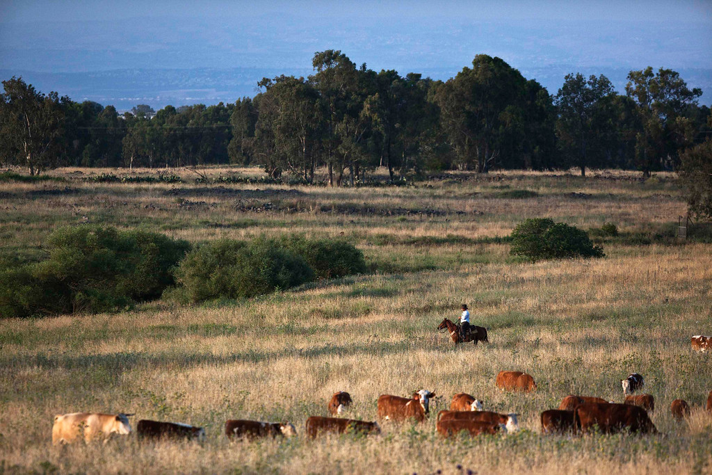 . Nadav, chief cowboy of the Yonatan herd, tends cattle on a ranch just outside Moshav Yonatan, a collective farming community, about 2 km (1 mile) south of the ceasefire line between Israel and Syria in the Golan Heights May 21, 2013.  REUTERS/Nir Elias