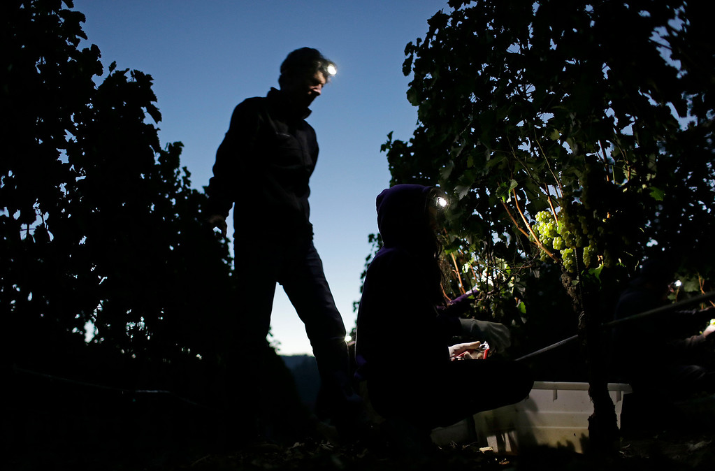. Winemaker Kevin Morrisey looks over his daughter Oona, right, picking Sauvignon Blanc grapes by headlamp at Ehlers Estate winery Wednesday morning, Aug. 28, 2013 in St. Helena, Calif. Harvest is underway in the Napa Valley with the picking of grapes for white and sparkling wine. (AP Photo/Eric Risberg)