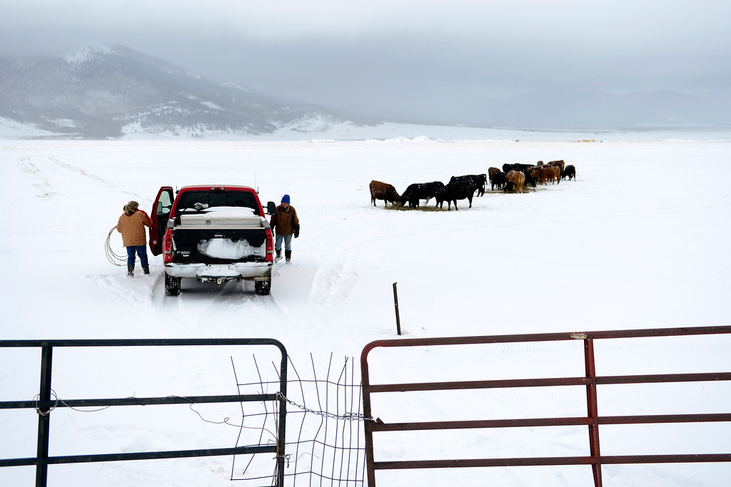 . JEFFERSON, CO - APRIL 17: Kristy Christensen (left) and Jackie Wille battle snow as they try to wrangle a sick calf. The women\'s families share the piece of land, located just off Highway 285, and keep their livestock there. (Photo by AAron Ontiveroz/The Denver Post)