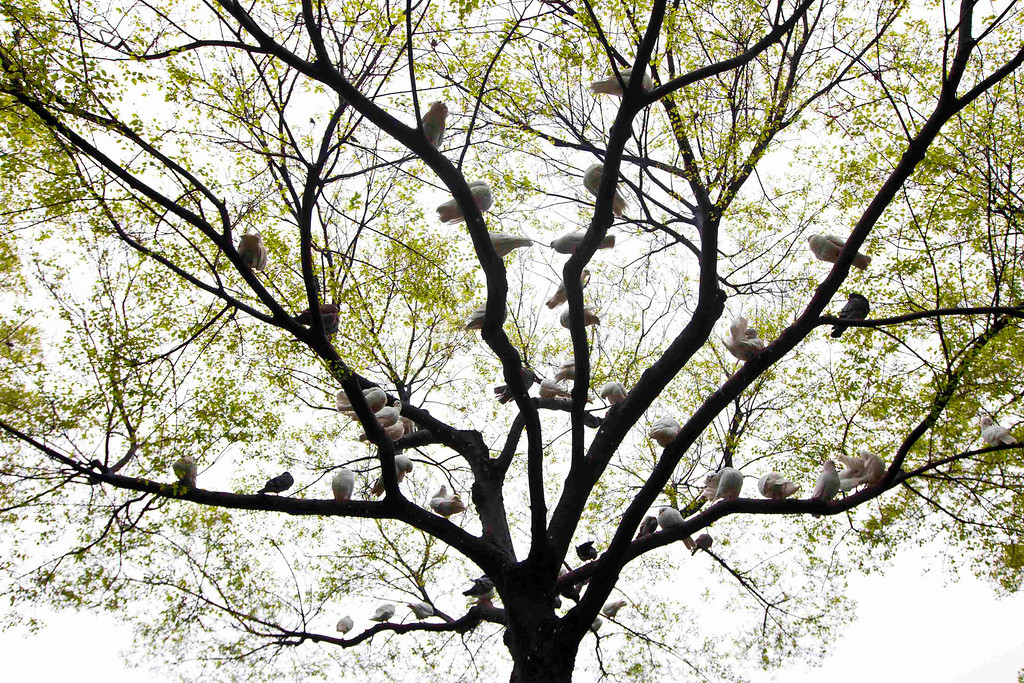 . Doves rest on a tree at a park in Shanghai April 5, 2013. All of the 14 reported infections from the H7N9 bird flu strain have been in eastern China and at least four of the dead are in Shanghai, a city of 23 million people and the showpiece of China\'s vibrant economy. REUTERS/Aly Song