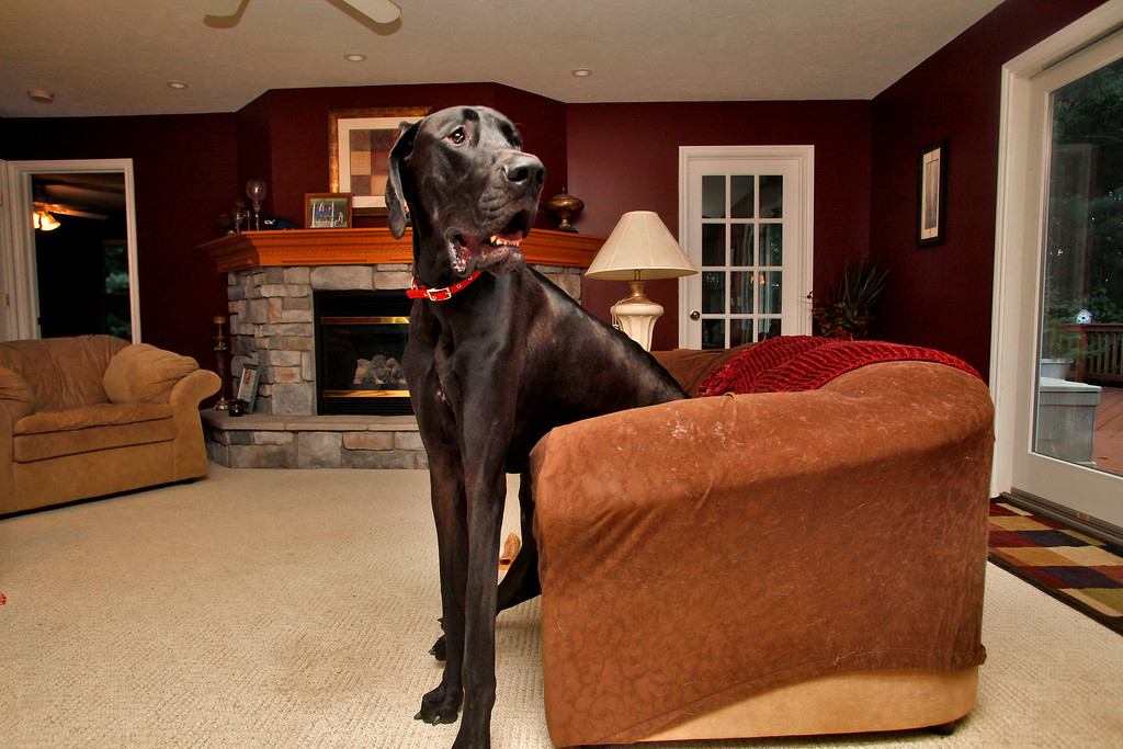 . In this photo taken on Sept. 9, 2010,  Kevin and Denise Doorlag\'s then two-year-old Great Dane, Zeus, sits in a love seat at their home in Ostego, Mich. Zeus, who held the title of world\'s tallest dog, died last week from old age, just two months short of his sixth birthday.  He was 44 inches tall at the shoulder and at 7-feet, 4-inches on his hind legs. (AP Photo/Kalamazoo Gazette-MLive Media Group, Jonathon Gruenke)
