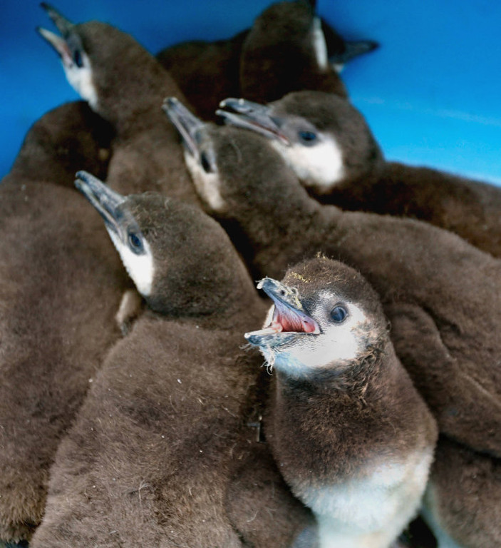 . Baby penquins wait for their first check up in a plastic bin at the San Francisco Zoo. Zoo and Animal staff pulled eight five-week-old Magellanic penguin chicks from their parents burrows for medical examinations.  (AP Photo/San Francisco Chronicle, Deanne Fitzmaurice)