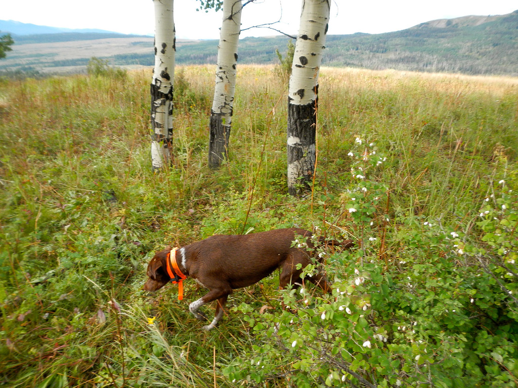 . Bailey the bird dog sniffs up some scent alongside prime September grouse habitat, including snowberries, forbes and aspen glades. Scott Willoughby, The Denver Post
