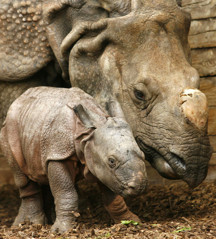""". Female Indian rhinoceros baby \""""Seto Paitala\"""" (Nepalese for \""""White Foot\"""") stands next to her mother Purana in their enclosure at the Nuremberg Tierpark. The rhinoceros was born at the zoo one week ago. The \""""Rhinoceros unicornis\"""" is a large mammal living in north-eastern India and Nepal.     (TIMM SCHAMBERGER/AFP/Getty Images)"""