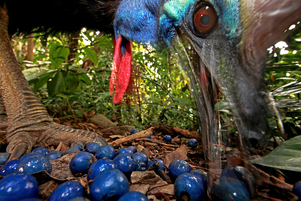 . Christian Ziegler of Germany has won the first prize in the Nature Single category of the World Press Photo Contest 2013 with this picture of an endangered Southern Cassowary feeding on the fruit of the Blue Quandang tree in Black Mountain Road, taken on November 16, 2012 and distributed by the World Press Photo Foundation February 15, 2013.   REUTERS/ Christian Ziegler/World Press Photo/Handout