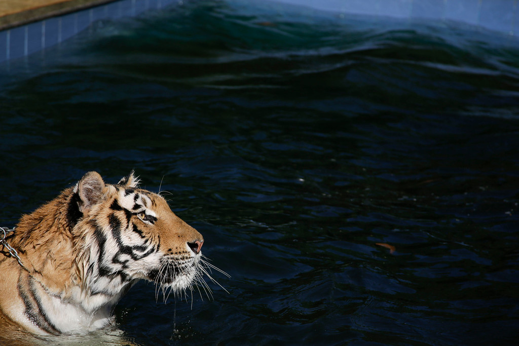 . A tiger named Tom swims in the backyard of his caretaker Ary Borges in Maringa, Brazil, Thursday, Sept. 26, 2013. Tom shares the Borges family property with other tigers, lions, a monkey, and a pet Chihuahau named Little inside this makeshift animal sanctuary. (AP Photo/Renata Brito)