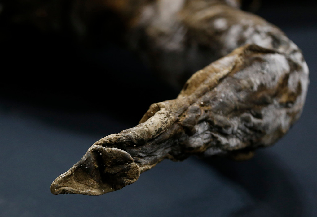 . The snout of a 39,000-year-old female Woolly mammoth, which was found frozen in Siberia, Russia is pictured upon its arrival at an exhibition hall in Yokohama, south of Tokyo, July 9, 2013. The mammoth will be on display from July 13, 2013 till September 16, 2013.   REUTERS/Toru Hanai