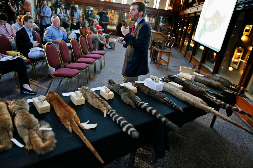. Kristofer Helgen, curator of mammals at the Smithsonian\'s National Museum of Natural History, stands in front of a table with specimens from the raccoon family as he talks about the discovery of the olinguito (Bassaricyon neblina), which is the first carnivore species to be discovered in the American continents in 35 years, Thursday, Aug. 15, 2013, during a news conference in Washington. The two-pound olinguito is native to forests of Colombia and Ecuador. (AP Photo/Charles Dharapak)