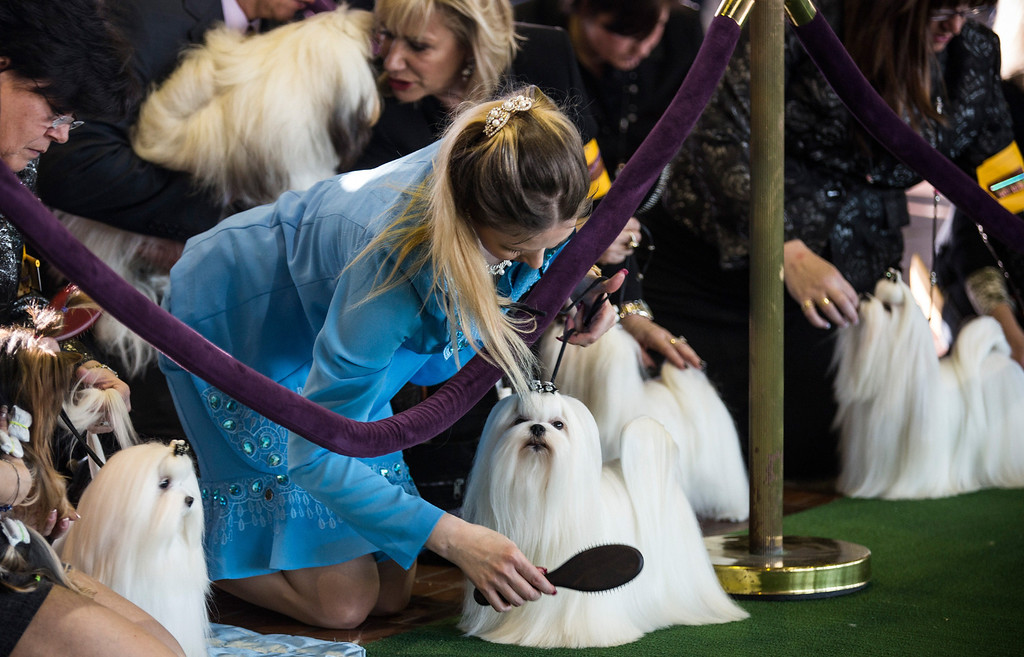 . Malteses are groomed one last time before competing in the 138th annual Westminster Dog Show at the Piers 92/94 on February 10, 2014 in New York City. The annual dog show showcases the best dogs from around world for the next two days in New York.  (Photo by Andrew Burton/Getty Images)