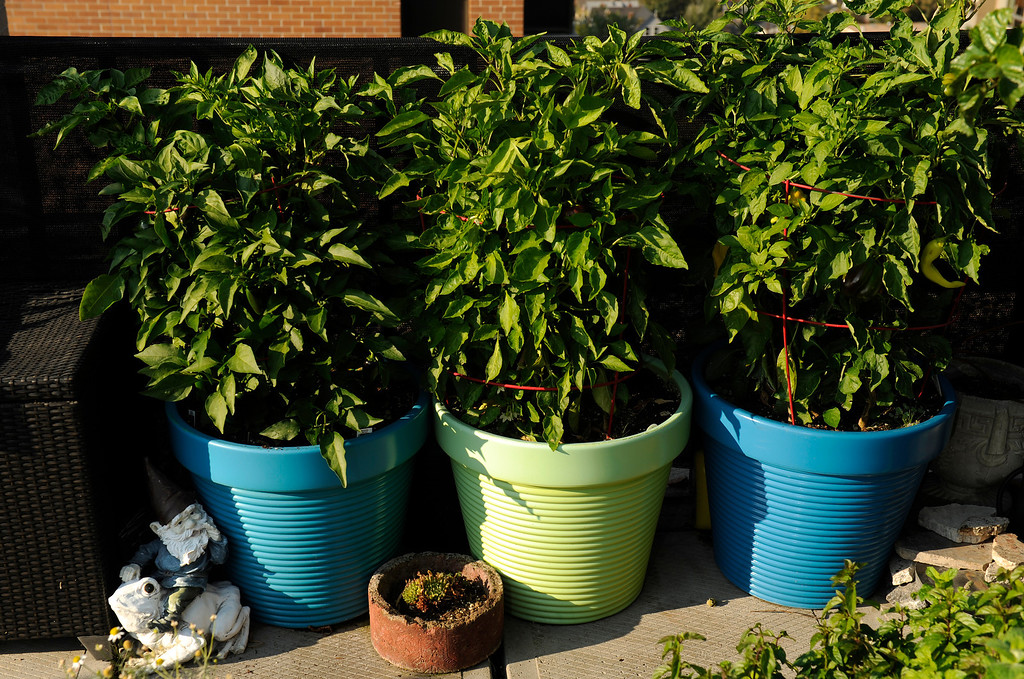 . Trimpa planted multiple varieties of peppers in each of these containers. Each year in late Semptember, he throws a dinner party at which everything but the meat and dairy comes from his garden. (Cyrus McCrimmon, The Denver Post)