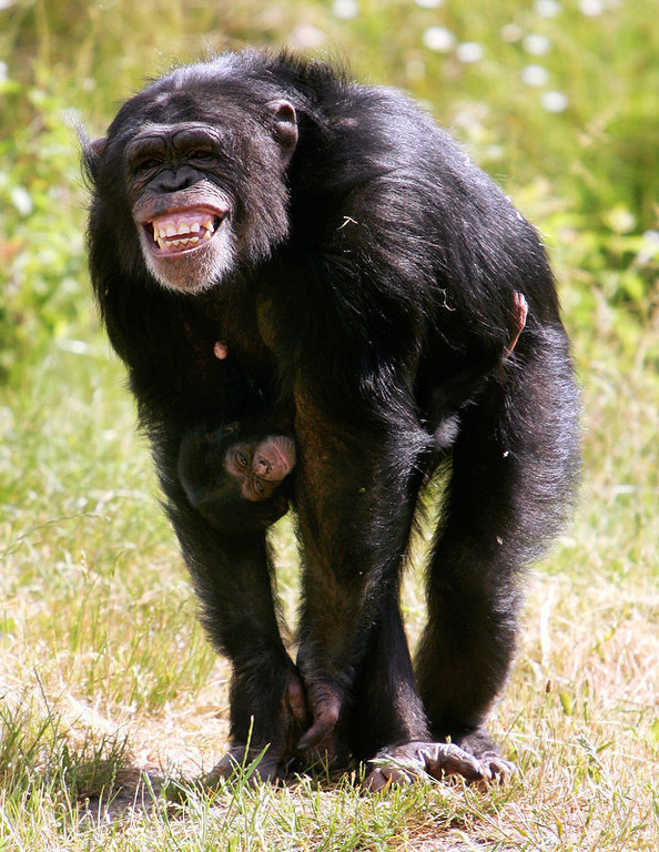 """. The nine-year-old chimpanzee \""""Pia\"""" nurses her newly-born baby \""""Amelie\"""" in their enclosure at the Serengeti Park in Hodenhagen near the northern German city of Hanover.  (STEFAN SIMONSEN/AFP/Getty Images)"""