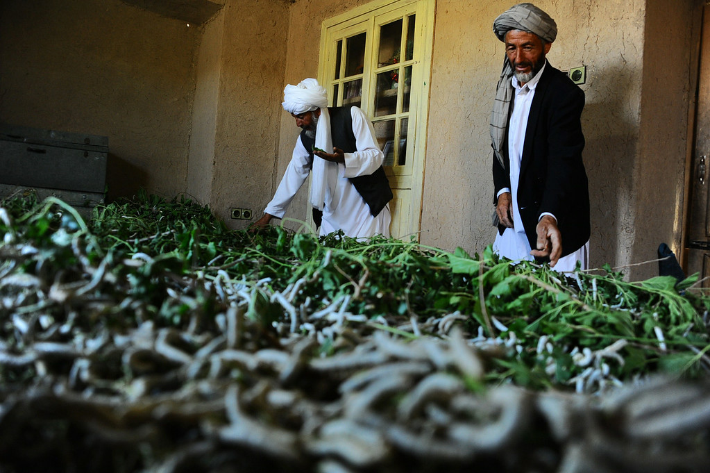 . In this photograph taken on May 13, 2014, Afghan farmers examine fresh mulberry leaves to feed silkworms in Zandajan district of Herat province.  AFP PHOTO/Aref Karimi/AFP/Getty Images