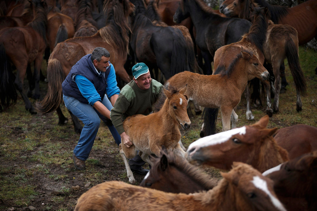 . Men grab a wild colt during the \'Rapa Das Bestas\' tradition in Mougas, northwestern Spain, Sunday, June 9, 2013. Rapa das bestas or Shearing of the Beasts is an ancient tradition dating from the 15th century and consists of gathering the wild horses in the mountains, placing them in a \'curro\' or corral, shaving them and branding them before releasing them in the mountains until next year. (AP Photo/Daniel Ochoa de Olza)