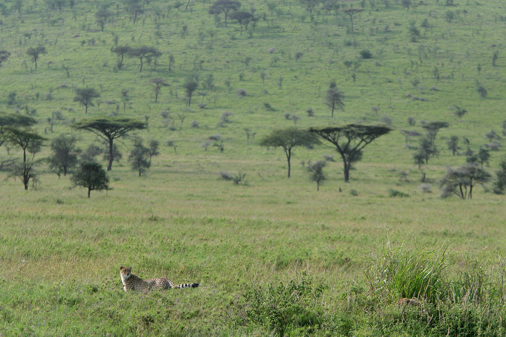 . A Cheetah hunts in the grasslands of Serengeti National Park in Tanzania, Africa.