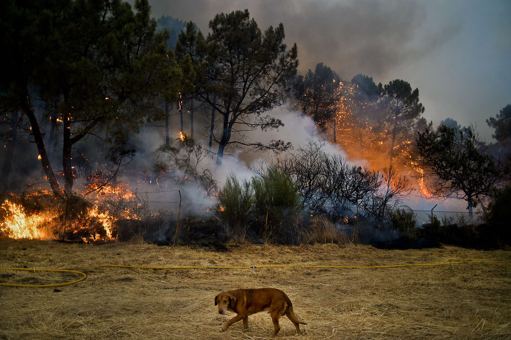. A dog passes a wildfire in Caramulo, central Portugal on August 29, 2013.   AFP PHOTO / PATRICIA DE MELO  MOREIRA/AFP/Getty Images