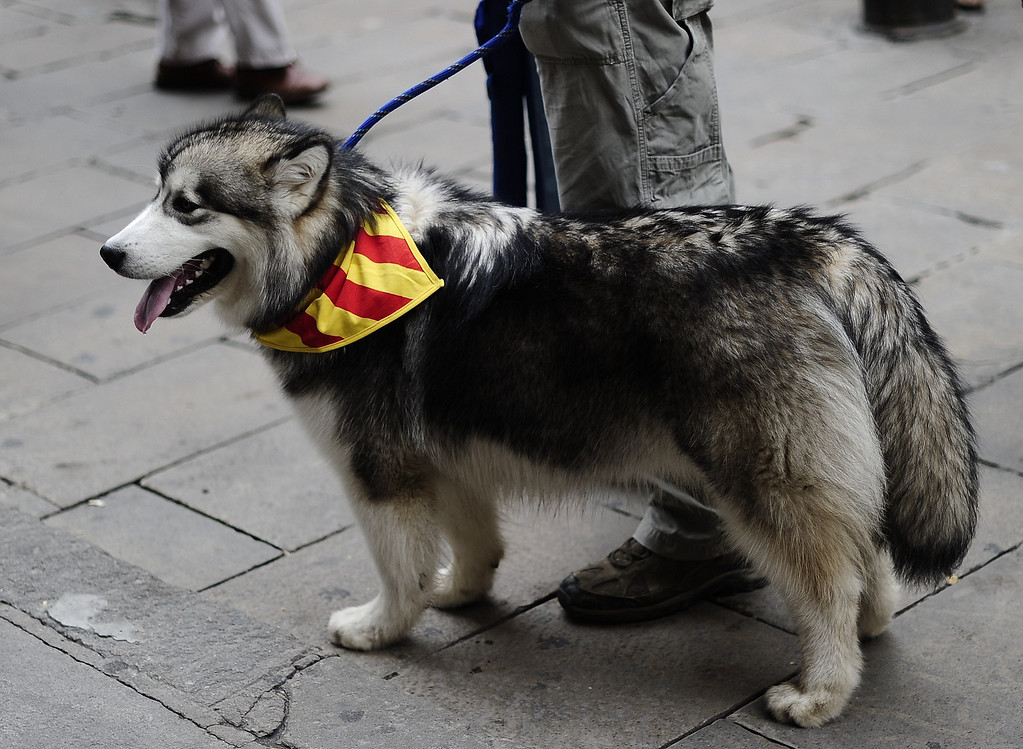 """. A dog sports Catalonia\'s flag \""""Estelada\"""" around its neck during celebrations for Catalonia National Day, or Diada, in Barcelona on September 11, 2013. Independence-seeking Catalans marshalled their forces today in a bid to create a 400-kilometre (250-mile) human chain they say will stretch across 86 cities, towns and villages along the coast of the northeastern region on the Mediterranean, passing landmarks such as the Sagrada Familia basilica in Barcelona and the city\'s Camp Nou football stadium. JOSEP LAGO/AFP/Getty Images"""