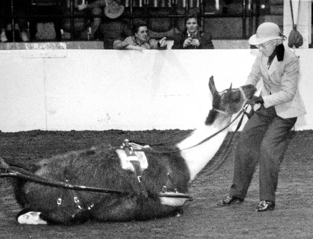 . The one laying down is Squire, a Lama, owned by Bobra Goldsmith but driven by Doreen Leonard she is the one standing. They had a difference of opinion but Doreen got Squire moving again after a little pushing and pulling. Dave Buresh, The Denver Post
