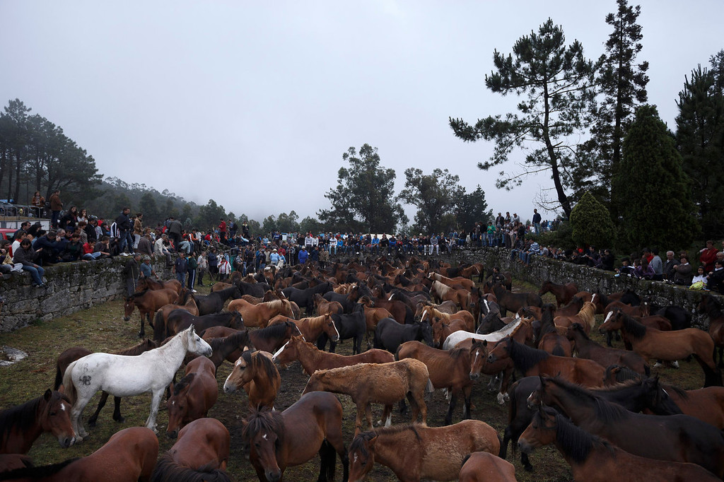 . Wild horses stand in the curro or corral as the \'Rapa Das Bestas\' tradition takes place in Mougas, northwestern Spain, Sunday, June 9, 2013. Rapa das bestas or Shearing of the Beasts is an ancient tradition dating from the 15th century and consists of gathering the wild horses in the mountains, placing them in a \'curro\' or corral, shaving them and branding them before releasing them in the mountains until next year. (AP Photo/Daniel Ochoa de Olza)