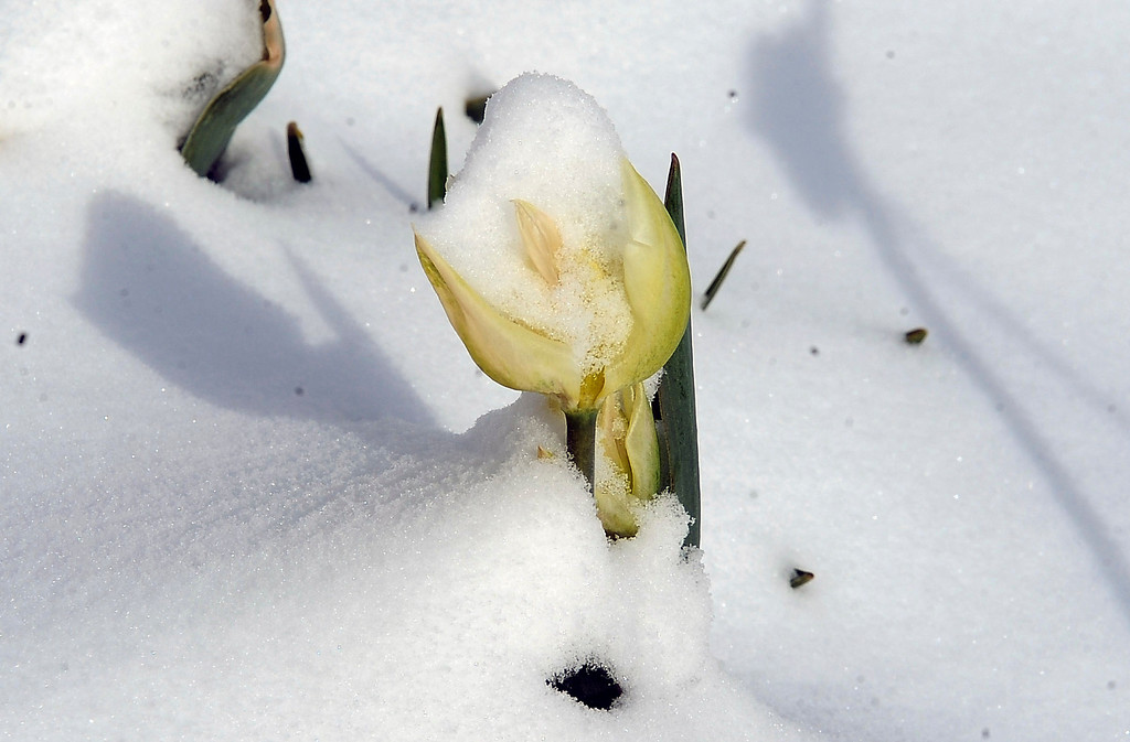 . CENTENNIAL, CO. - APRIL 23: A tulip pokes out of the snow Tuesday morning in Centennial. (Photo By Steve Nehf / The Denver Post)