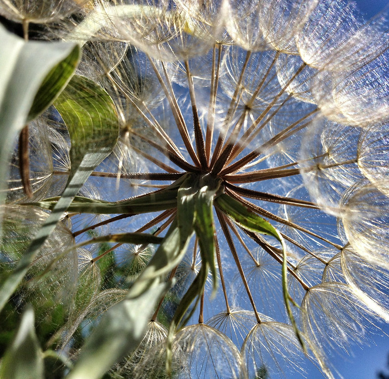 . Finalist: A unique angle on a dandelion seed head captured the judges\' fancy.  (Photo by Tracy Csavina/Submitted to The Denver Post for Growm Photo Contest 2014)