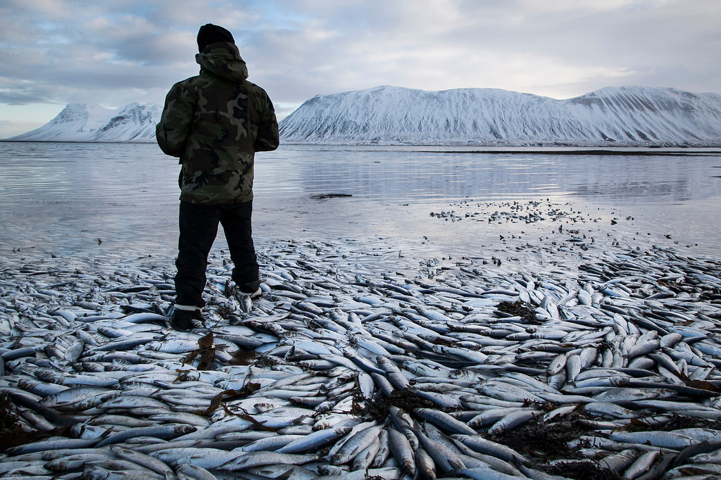 . Herring worth  billions in exports are seen floating dead Tuesday Feb. 5 2013 in Kolgrafafjordur, a small fjord on the northern part of Snaefellsnes peninsula, west Iceland, for the second time in two months. Between 25,000 and 30,000 tons of herring died in December 2012 and more now, due to lack of oxygen in the fjord thought to have been caused by a landfill and bridge constructed across the fjord in December 2004.  (AP Photo/Brynjar Gauti)