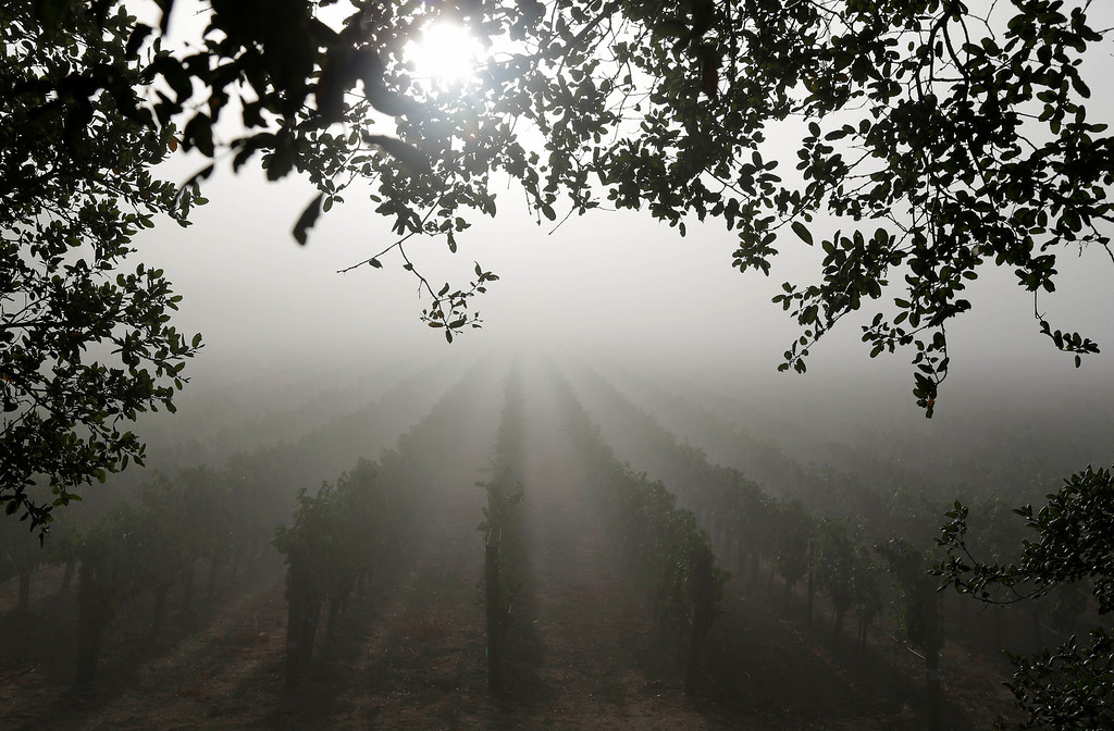 . The sun is filtered through the fog in the Stelling Vineyard at Far Niente winery Wednesday, Aug. 28, 2013 in Oakville, Calif.  Harvest is underway in the Napa Valley with the picking of grapes for white and sparkling wine. (AP Photo/Eric Risberg)