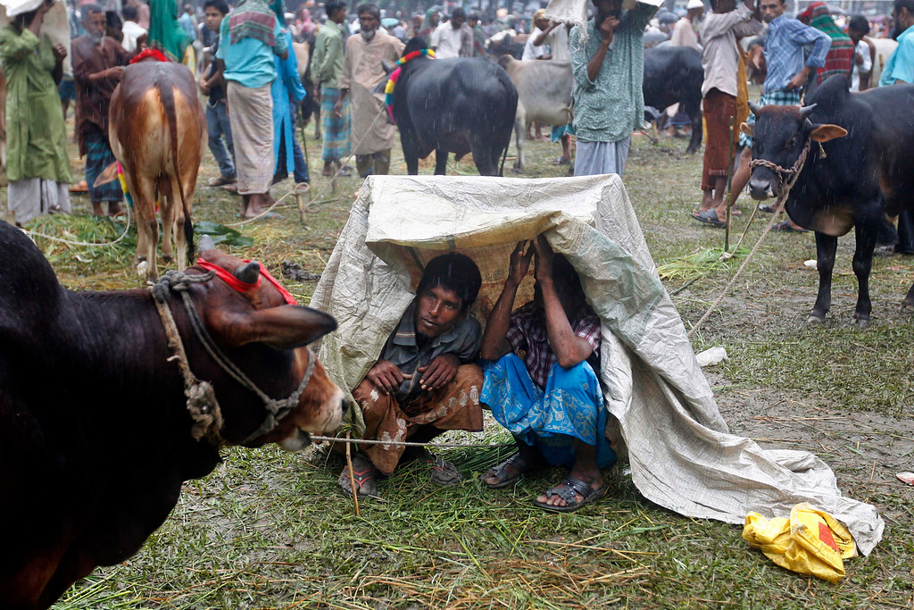 . Bangladeshi cattle vendors cover themselves with a plastic sheet during a downpour as they wait for customers at a cattle market in Mymensingh, on the outskirts of Dhaka, Bangladesh, Tuesday, Oct. 15, 2013. (AP Photo/A.M. Ahad)